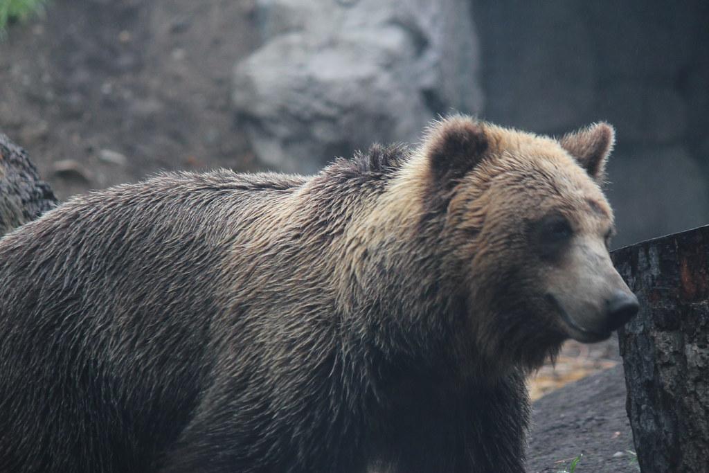 エゾヒグマ  Maruyama zoo, Sapporo, Hokkaido, Japan. 札幌市、円山動物園にて。…  Flickr