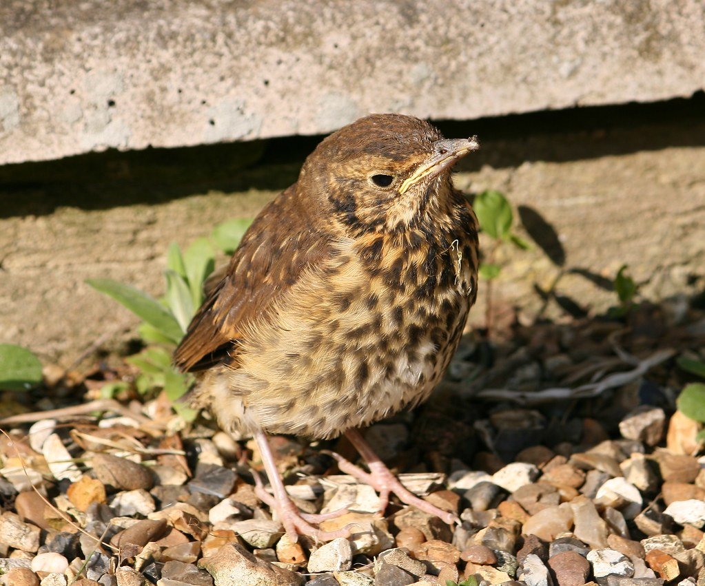 Young Song Thrush (Tur...