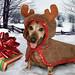 "Skippy, Mr. December 2009 ""Rescue Dachshund"""