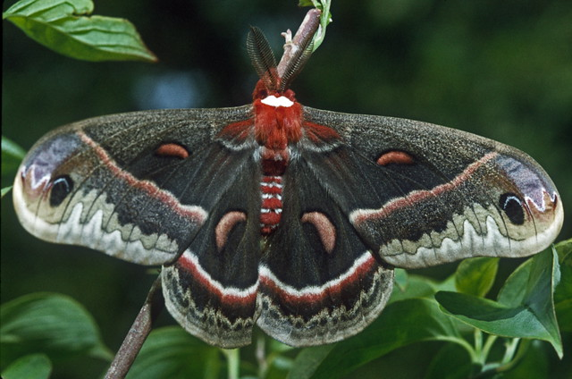 Image result for cecropia moth