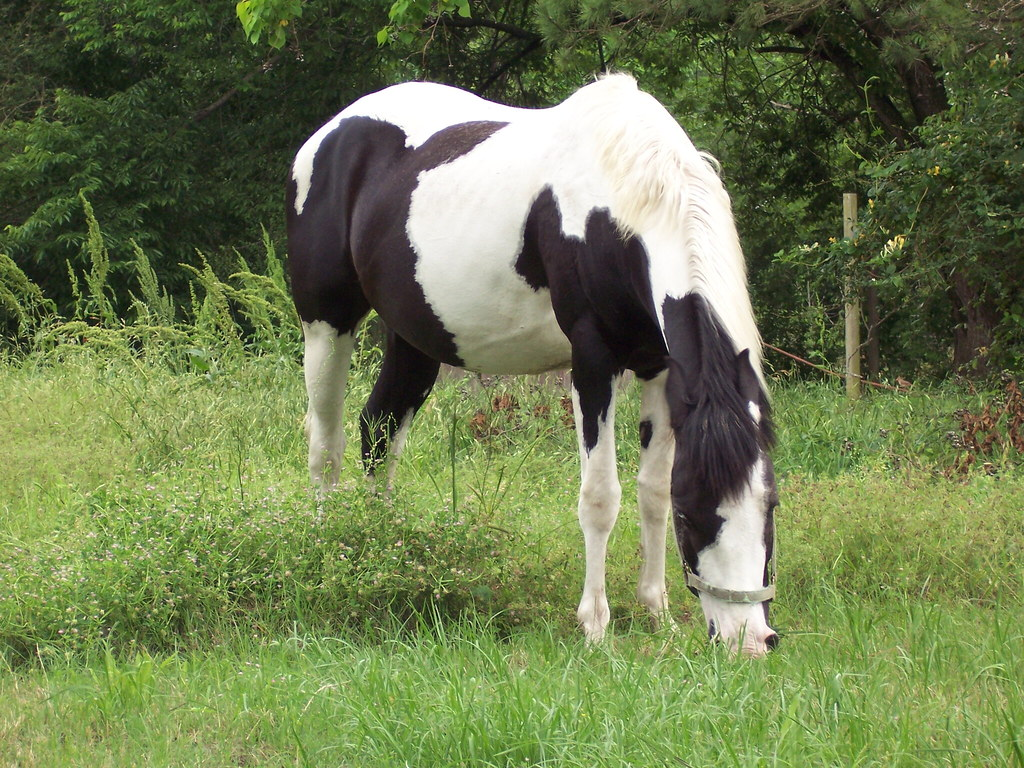 Black White Paint Horse