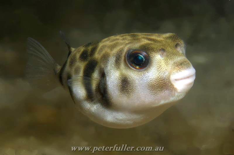 tetrodotoxin poisoning by the pufferfish Fugu & tetrodotoxin tetrodotoxin liver ski sex rgans main locations tetrodotoxin is produced by bacteria that live in pufferfish the parts of the  puffer fish .