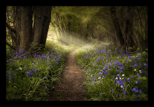 Bluebells | by kerto.co.uk