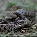 Snake eating a snake