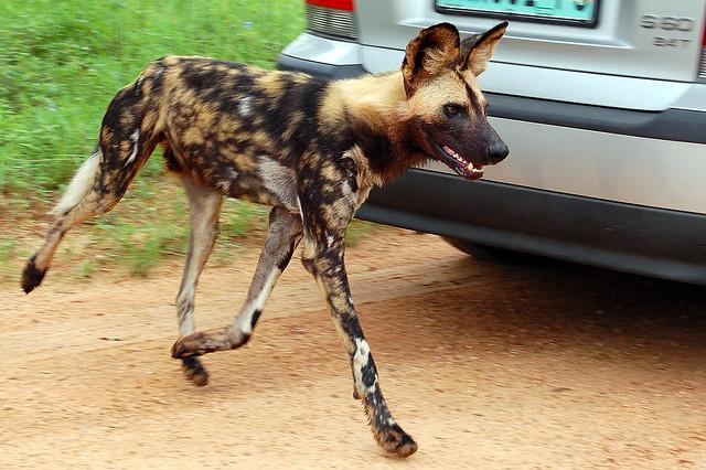 Wild Dog Rescue Fennville Mi
