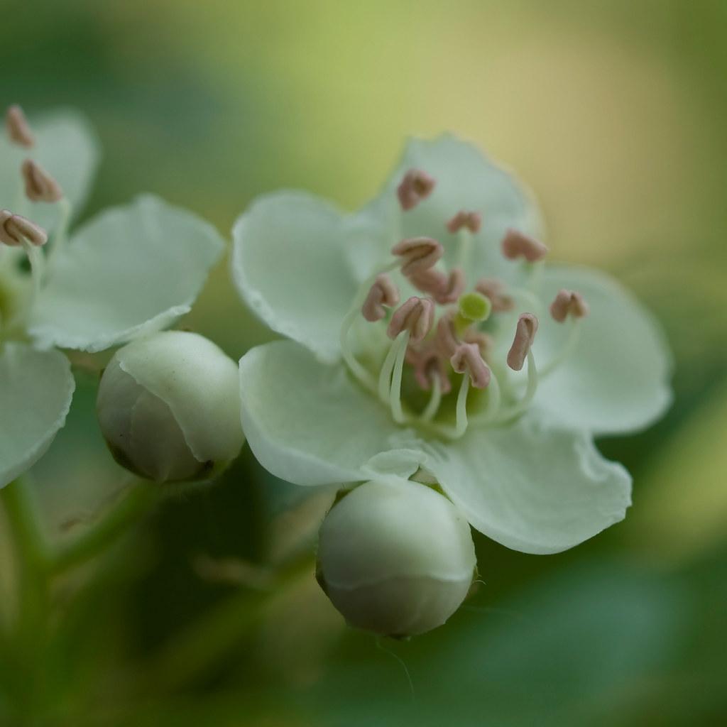 Epine blanche Crataegus monogyna Hawthorn flower