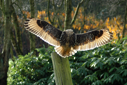Bengal Eagle Owl landing on post | by gifster1983