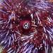 Sea Urchin Closeup