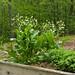 Humble Garden: horseradish, flowers, oregano