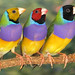 SarahPrykeThree head forms of the Gouldian finch