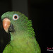 Mort the Blue Crowned Conure