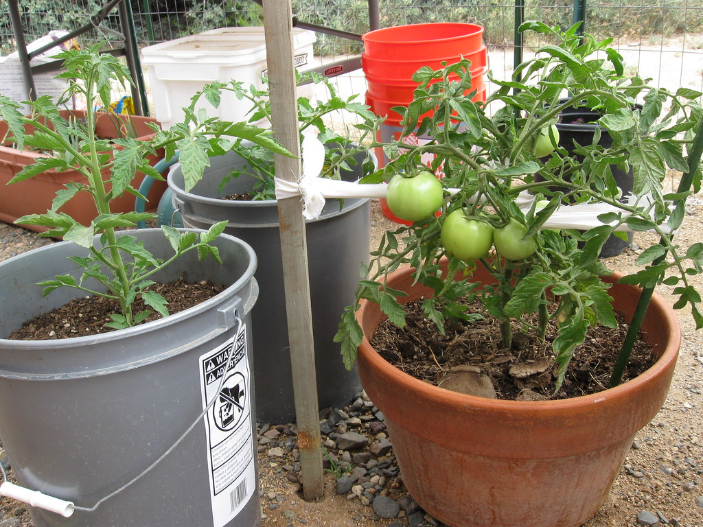 Tomato Pots 174 Tomato Trio Azmichelle Flickr