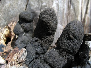 Xylaria polymorpha (Dead Man's Fingers) | by e_grosh