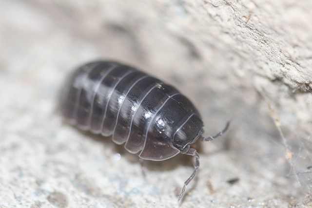 multi segmented bodies pill bug Containing the short-bodied pill millipedes such as long, multi-segmented bodies millipede bodies may be flattened or cylindrical.