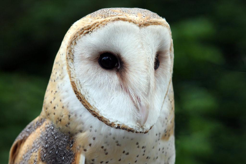 Cincinnati Zoo... Barn Owl | © All Rights Reserved - No ...