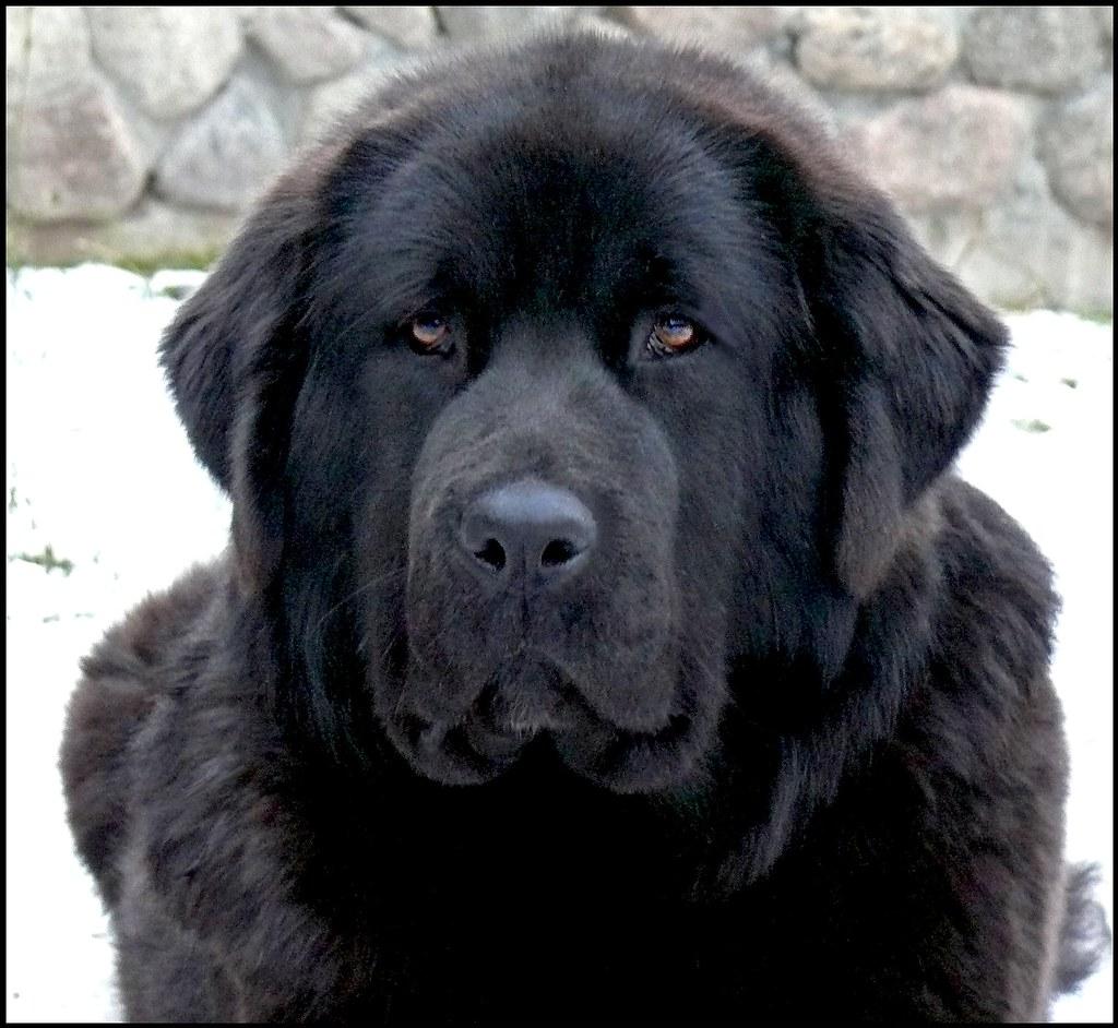 Raven-female Tibetan mastiff | Full black female TM from ...