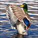 ~ Duck Dance ~