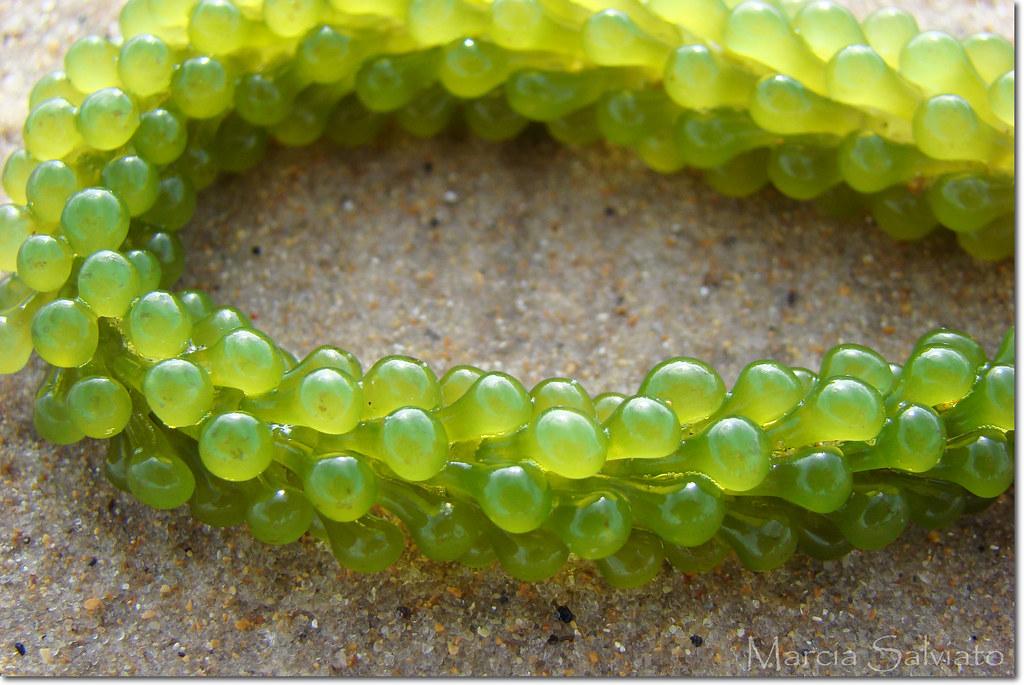 Green Grape Algae - Caulerpa uva | Tabatinga Beach - Conde ...