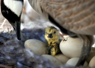 goosechick1 | by Contra Costa Times