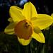 Daffodil 78 / 365