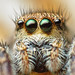 Female Jumping Spider (Habronattus coecatus)