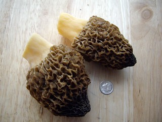 Morels from my Backyard | by swampkitty