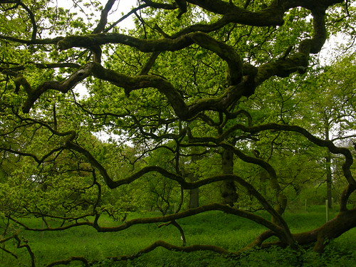 Oak Branches | by Giles Watson's poetry and prose
