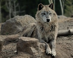 Wolf | by hearman