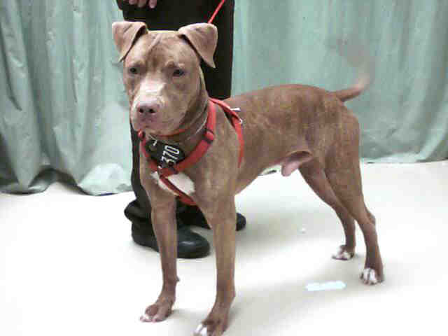 Red Brindle Red Nose Male Pit Bull | Flickr - Photo Sharing!