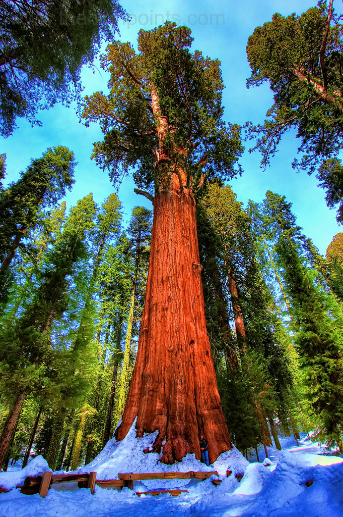 The general sherman tree sequoia national park this is for Beaux arbres de jardin