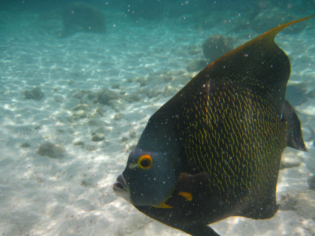 giant french angelfish