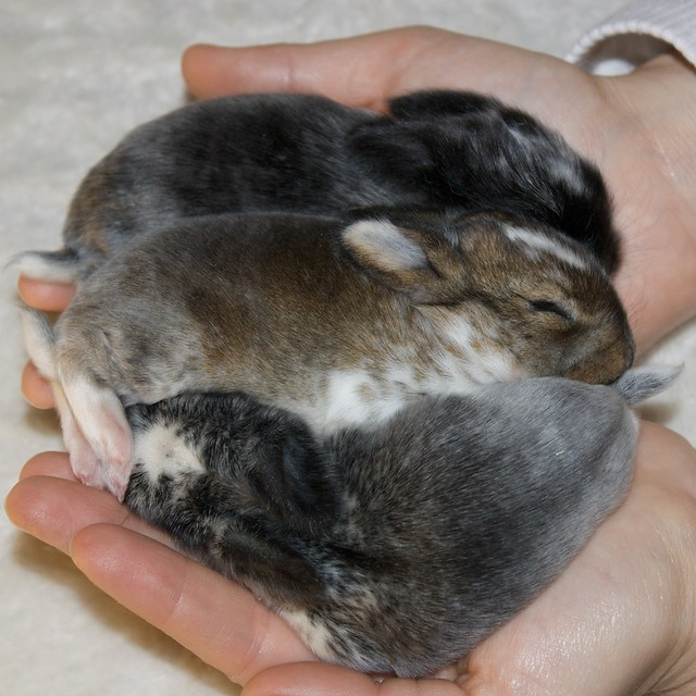 Use Baby Rabbits As Food For Ball Python