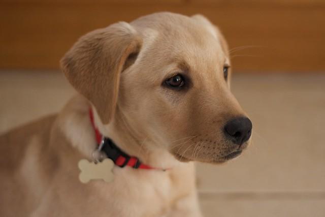 Lab Puppy Weight Chart: Golden Labrador Puppy | Alfie puppy | Bruce Tonge | Flickr,Chart