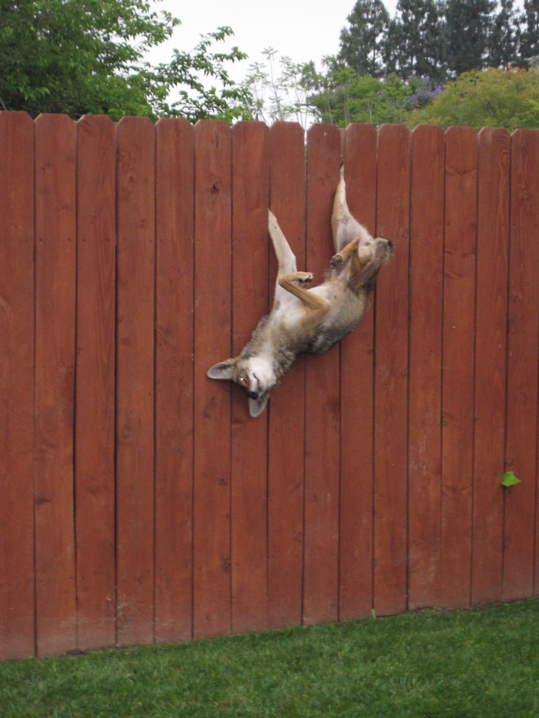 Coyote Stuck On Fence Animal Advocates Mary Cummins Flickr