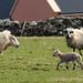 Spring lamb in Dingle