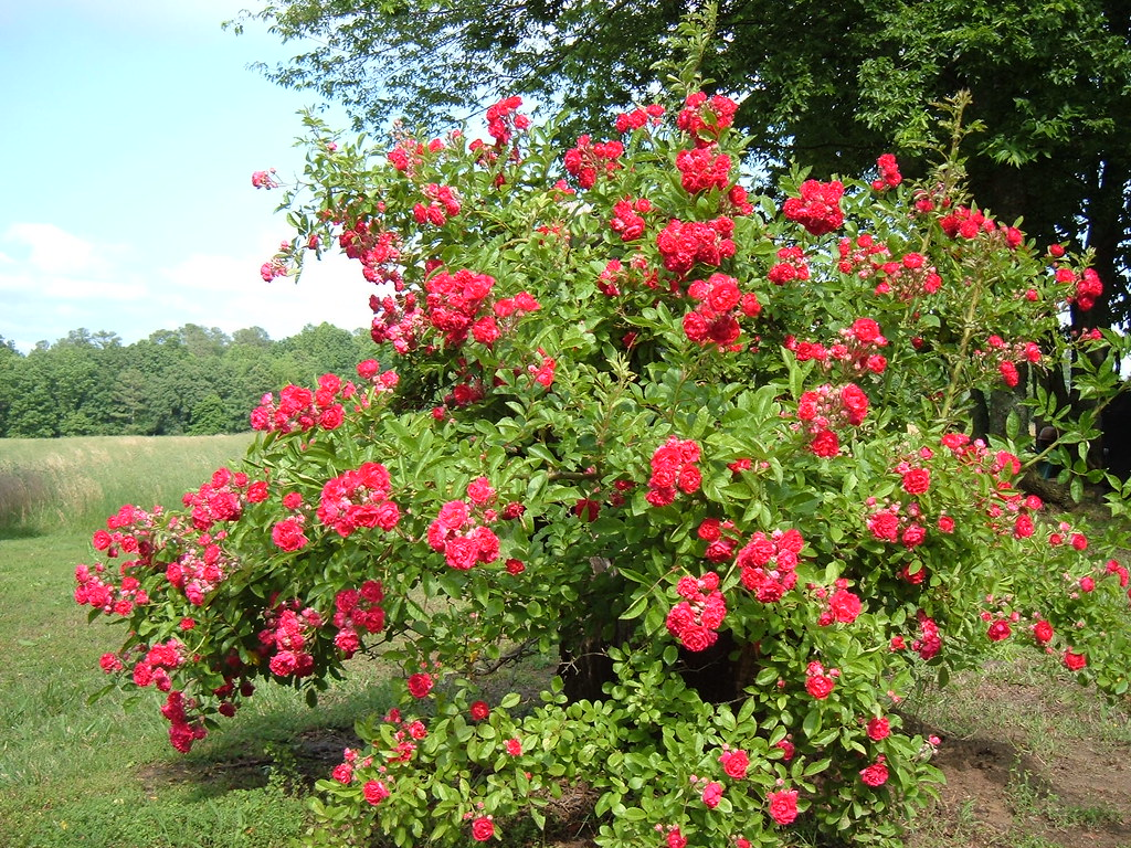 Seven Sisters Rose Bush 2009 I Got A Cutting Of This