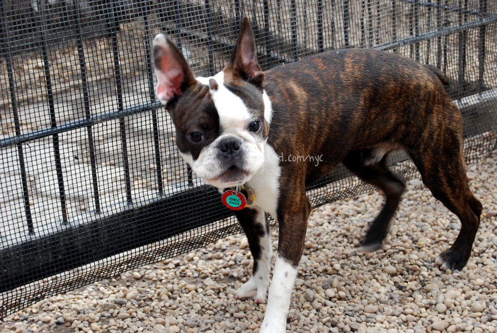 B Is For Boston Terrier canined brindle boston...