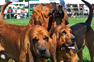 Bloodhounds | by me'nthedogs