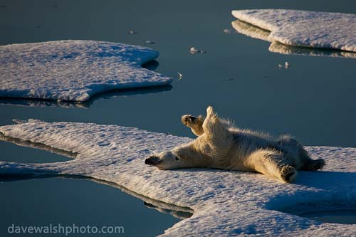 Nanuk: Polar Bear rolling about | by Dave Walsh Photography