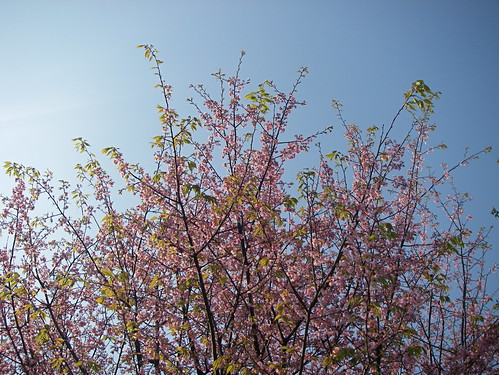 Hanami view | by Blue Lotus
