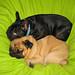 pug-frenchie-dogs-cuddling