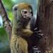 Grey Gentle Lemur
