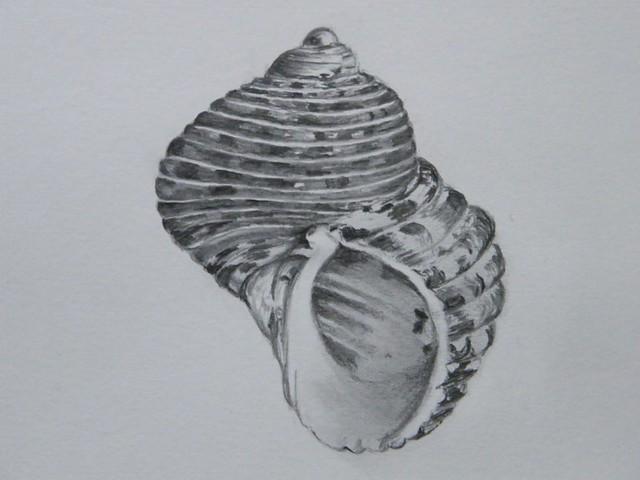 Whelk Shell Pencil drawing   julesart24   Flickr