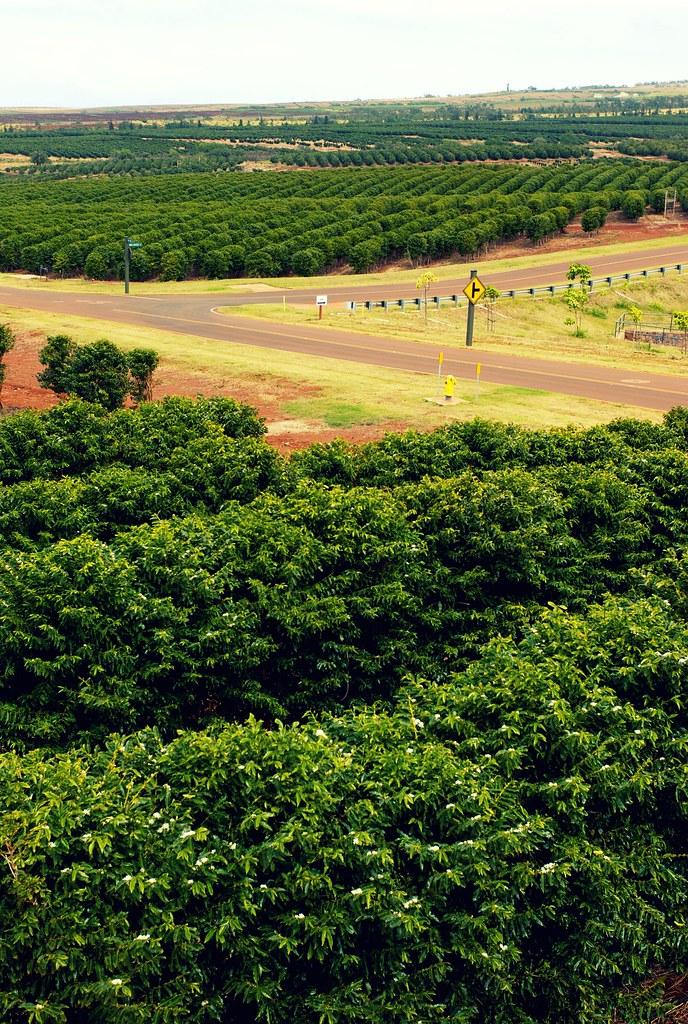Coffee Plantation   MauiGrown Coffee Company in Lahaina, Mau…   Michael   Flickr