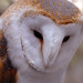English Barn Owl
