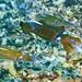 Reef Squid Charlies Garden