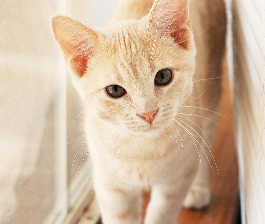 orange striped cat breed