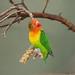 Pfirsichköpfchen - Fischer's Lovebird (Agapornis fischeri)