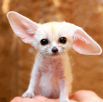 Fennec Fox Gif Fennec Fox Born At Everland Zooo South