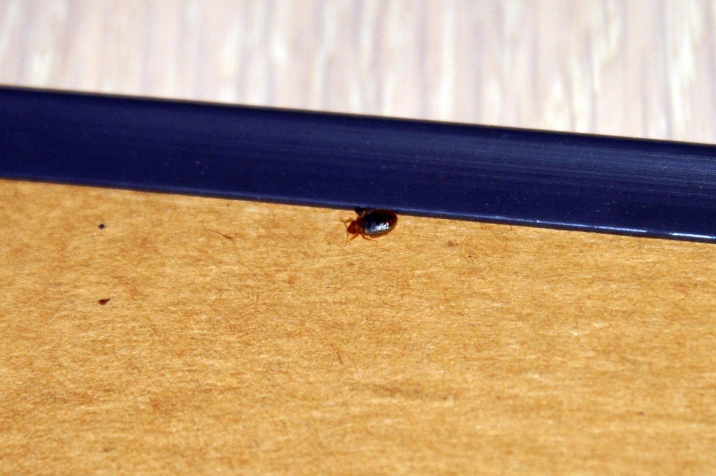 Images pictures bed bug